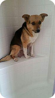 Australian Shepherd Dog for adoption in Phoenix, Arizona - Marissa
