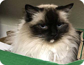 Ragdoll Cat for adoption in Temecula, California - Sophie