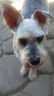 Miniature Schnauzer Dog for adoption in Sharonville, Ohio - Pepper