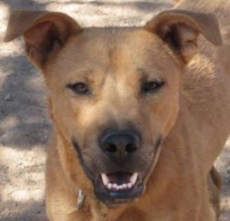 American Pit Bull Terrier/Rottweiler Mix Dog for adoption in Las Cruces, New Mexico - Frazier