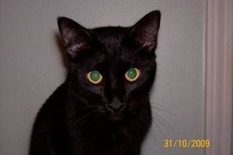Domestic Shorthair/Domestic Shorthair Mix Cat for adoption in Garland, Texas - Tarzan
