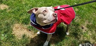 Pit Bull Terrier Dog for adoption in Armonk, New York - Rousey