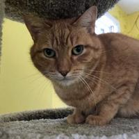 Domestic Shorthair/Domestic Shorthair Mix Cat for adoption in Fairfax, Virginia - Hobbit