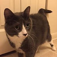 Domestic Shorthair Cat for adoption in Washington, D.C. - Pixie