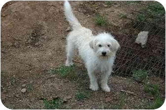 Terrier (Unknown Type, Small) Mix Dog for adoption in Muldrow, Oklahoma - SHELLY