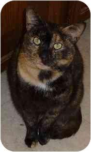 Domestic Shorthair Cat for adoption in Sugar Land, Texas - Kellsie