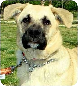 Labrador Retriever/German Shepherd Dog Mix Puppy for adoption in Pawling, New York - WOODY