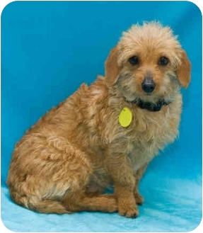 Poodle (Miniature) Mix Puppy for adoption in Westminster, Colorado - JESSICA