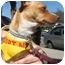 Photo 4 - Chihuahua Mix Dog for adoption in Encino, California - Piglet
