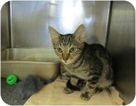Domestic Mediumhair Cat for adoption in Tahlequah, Oklahoma - Apollo