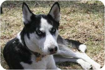 Siberian Husky Dog for adoption in Huntington Station, New York - Lola