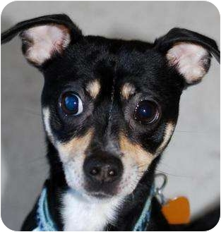 Chihuahua/Miniature Pinscher Mix Dog for adoption in Vineland, New Jersey - King