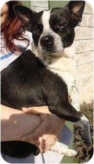 Border Terrier Dog for adoption in Belvidere, Illinois - Bob