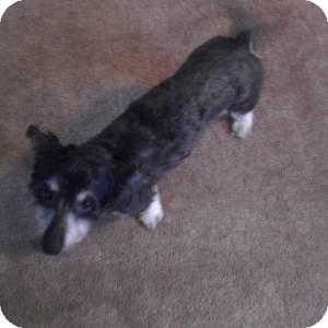 Schnauzer (Miniature)/Dachshund Mix Dog for adoption in Redondo Beach, California - Alondra - Courtesy