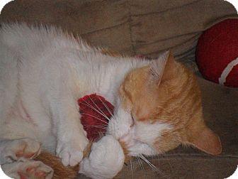 American Shorthair Cat for adoption in Xenia, Ohio - Ellie