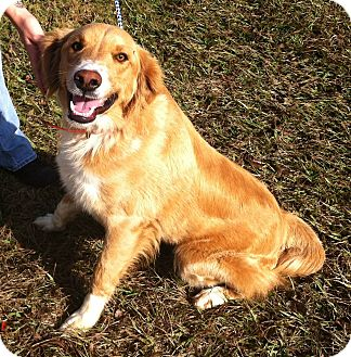 Golden Retriever Mix Dog for adoption in New Canaan, Connecticut - Sport