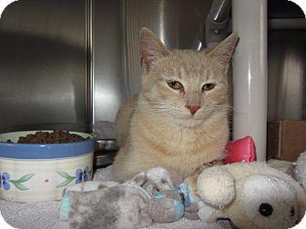 Domestic Shorthair Cat for adoption in Ridgway, Colorado - Mango