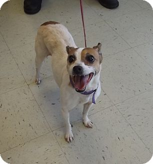 Terrier (Unknown Type, Small) Mix Dog for adoption in Franklin, North Carolina - Sweetie