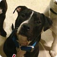 Adopt A Pet :: Beau - Dayton, OH