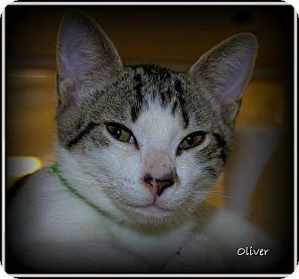 Domestic Shorthair Kitten for adoption in Yuba City, California - Oliver