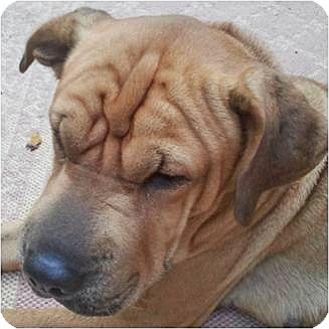 Shar Pei Dog for adoption in Beachwood, Ohio - Mooshie