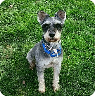Miniature Schnauzer Dog for adoption in Cincinnati, Ohio - Ajax