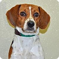 Adopt A Pet :: Jellybean - Port Washington, NY