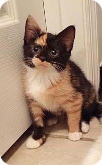 Domestic Shorthair Kitten for adoption in Gainesville, Florida - Serena