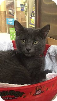 Domestic Shorthair Kitten for adoption in Huntley, Illinois - Bennie