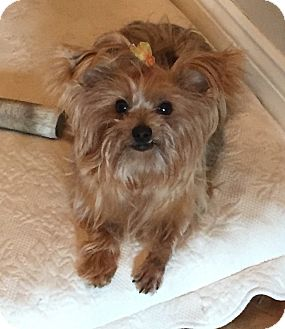 Yorkie, Yorkshire Terrier Dog for adoption in Naples, Florida - Zoey