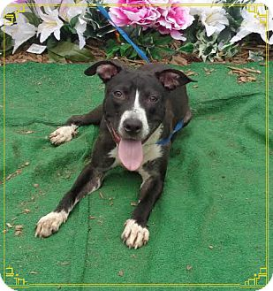 Labrador Retriever/Hound (Unknown Type) Mix Dog for adoption in Marietta, Georgia - DAVETTA (R)