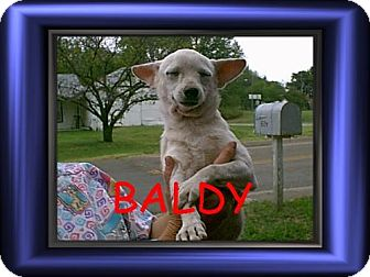 Chihuahua Dog for adoption in Cushing, Oklahoma - x BALDY adopted
