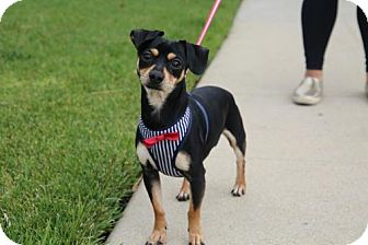Miniature Pinscher/Chihuahua Mix Dog for adoption in Los Angeles, California - Lucca