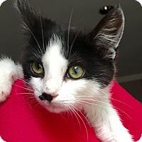 Adopt A Pet :: Joanie LC - Schertz, TX