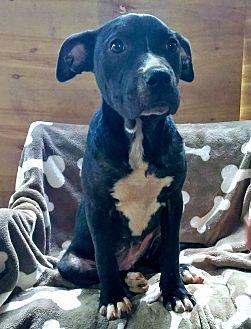 Labrador Retriever/Staffordshire Bull Terrier Mix Puppy for adoption in West Springfield, Massachusetts - Sunflower