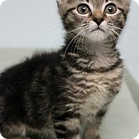 Adopt A Pet :: Tiger Babies - Montclair, NJ