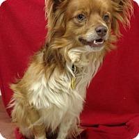 Pomeranian/Papillon Mix Dog for adoption in Redding, California - Harris($200)