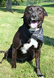 Labrador Retriever Mix Dog for adoption in Michigan City, Indiana - Bullett
