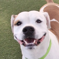 Adopt A Pet :: *COMET - Las Vegas, NV