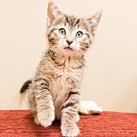Adopt A Pet :: Misaki - Chicago, IL