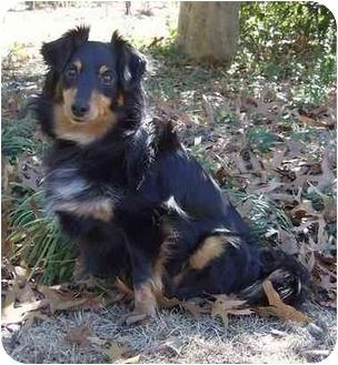 Sheltie, Shetland Sheepdog Mix Dog for adoption in Columbia, South Carolina - Mandy *video*