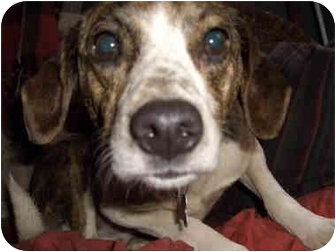 Beagle/Boston Terrier Mix Dog for adoption in all of, Connecticut - Sparkle-apartment?