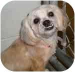 Shih Tzu/Poodle (Miniature) Mix Dog for adoption in Fort Wayne, Indiana - Foxy