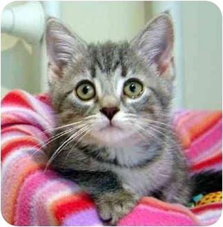 Domestic Shorthair Kitten for adoption in Overland Park, Kansas - Maya