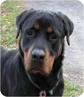 Rottweiler Dog for adoption in Rexford, New York - Hunter