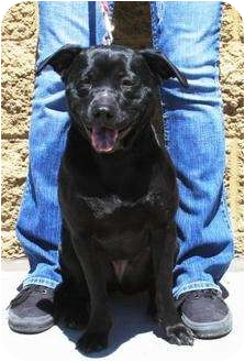 Bull Terrier/Shar Pei Mix Puppy for adoption in Gilbert, Arizona - Mooshi