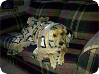 Beagle/Terrier (Unknown Type, Medium) Mix Dog for adoption in McArthur, Ohio - MILEY