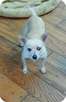 Chihuahua Mix Dog for adoption in San Diego, California - Hope URGENT