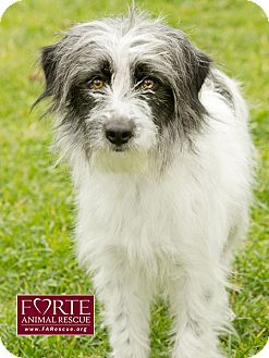 Tibetan Terrier/Border Terrier Mix Dog for adoption in Marina del Rey, California - Ruthie