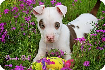 American Pit Bull Terrier Mix Puppy for adoption in Wilmington, Delaware - Bonnie